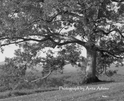 Signed - Black and White Oak Tree