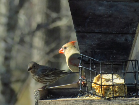 Female Cardinal and Friend