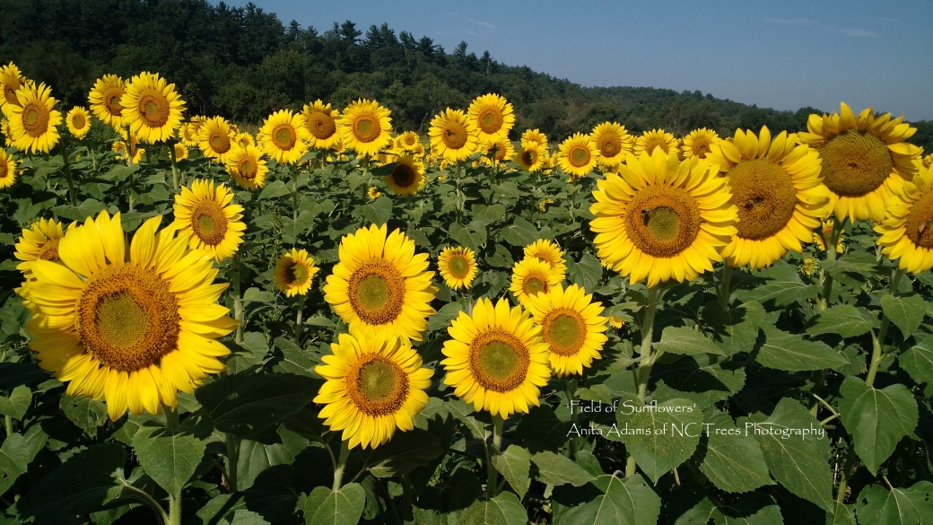 Signed - Field of Sunflowers