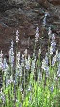 Amazing Lavender
